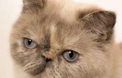 Pourquoi faut-il adopter un Exotic Shorthair ?