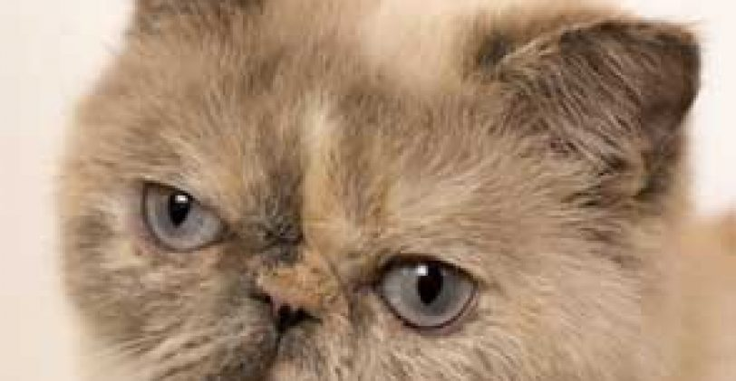 Pourquoi faut-il adopter un Exotic Shorthair ?